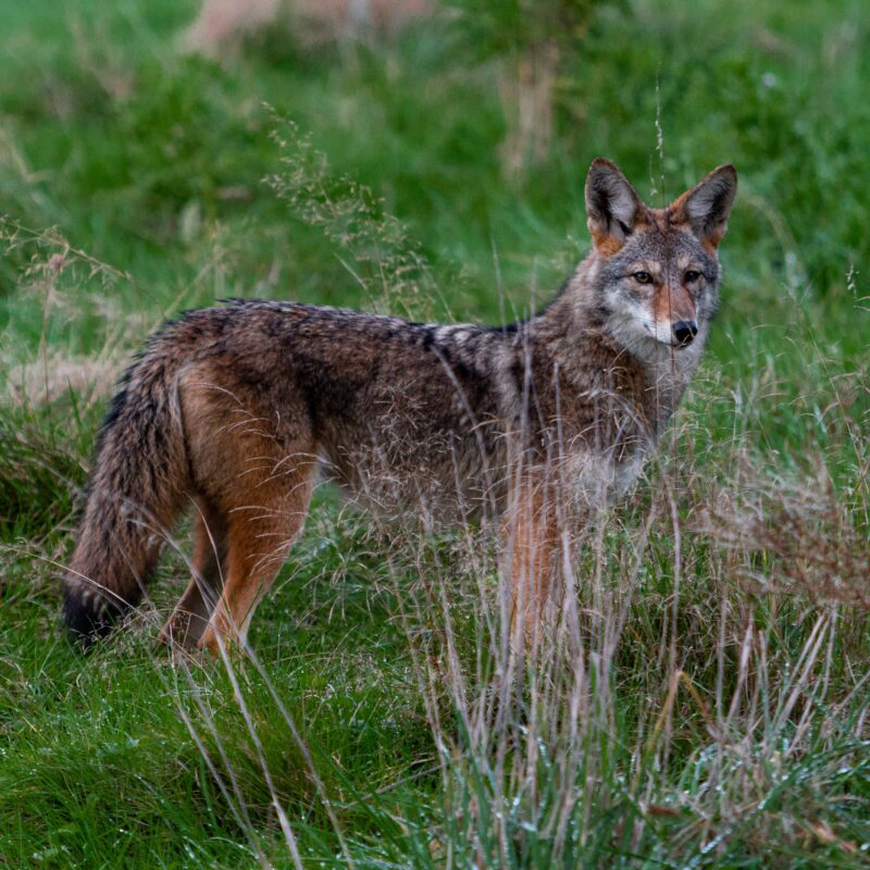 Vancouver, massacro pianificato dei coyote: una petizione per salvarli